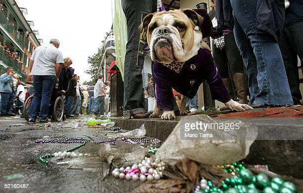 A bulldog stands by discarded beads during Mardi Gras festivities February 8 2005 in New Orleans Louisiana Mardi Gras is the last carnival...