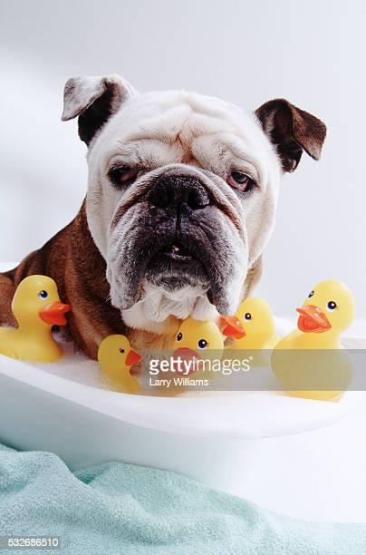 Bulldog Taking Bubble Bath