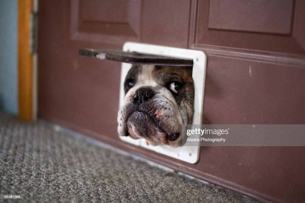 Bulldog trying to get through a cat door : Stock Photo