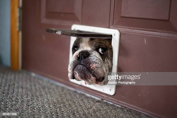 bulldog trying to get through a cat door - humour stock pictures, royalty-free photos & images