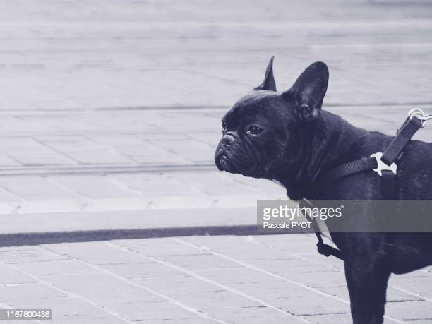 bull-dog walk in the street - bulldog frances imagens e fotografias de stock