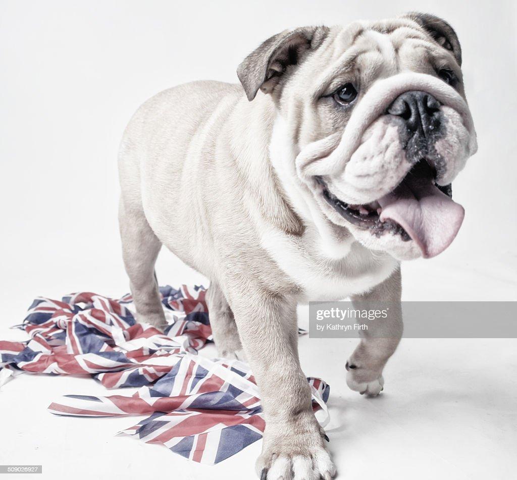 Bulldog walking towards camera : Stock Photo