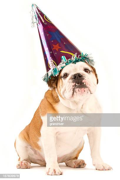 bulldog wearing a party hat isolated on white - ugly dog stock photos and pictures