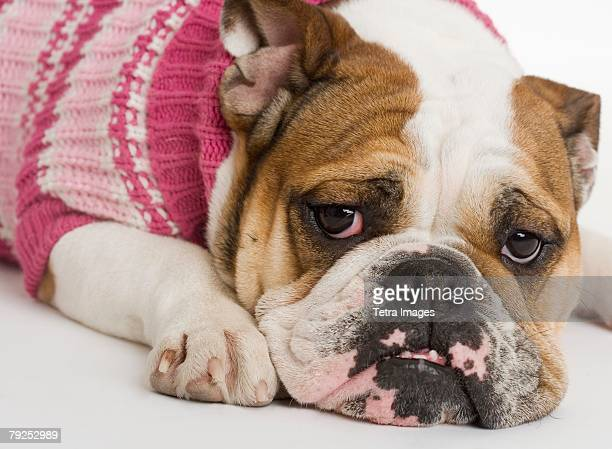 bulldog wearing a sweater - drooping stock photos and pictures