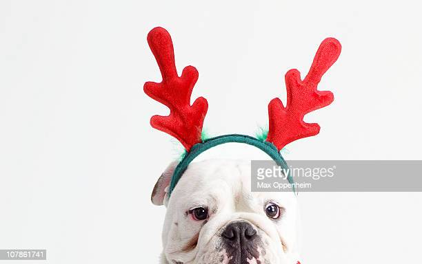 bulldog wearing christmas antlers