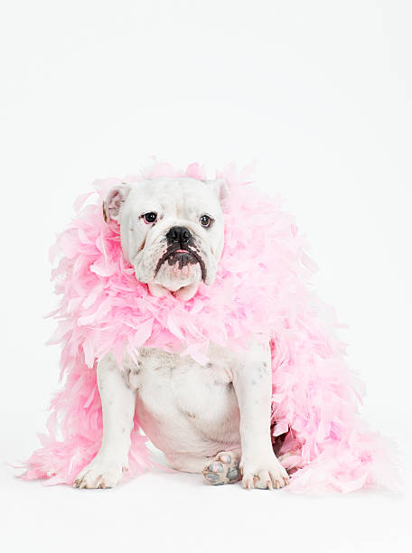 bulldog wearing feather boa
