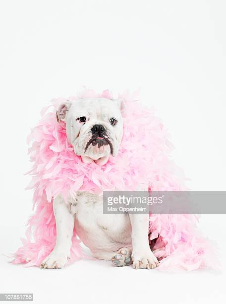 bulldog wearing feather boa