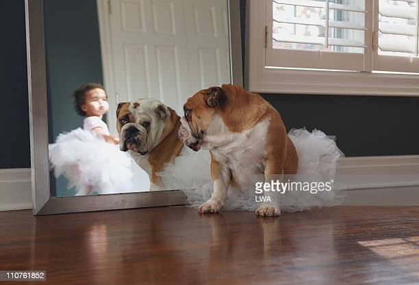 Bulldog Wearing Tutu, Looking In Mirror
