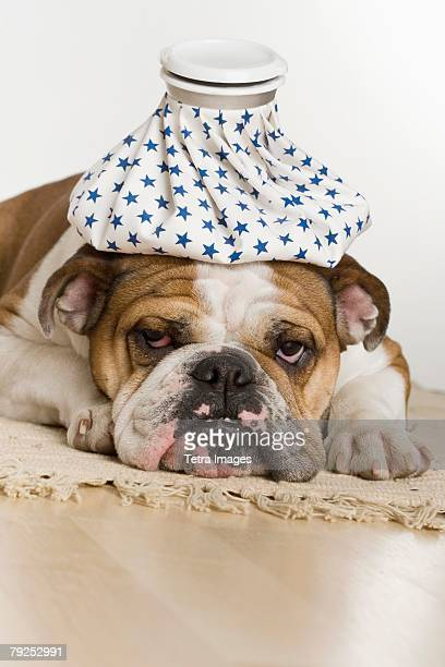 Bulldog with an icepack on head