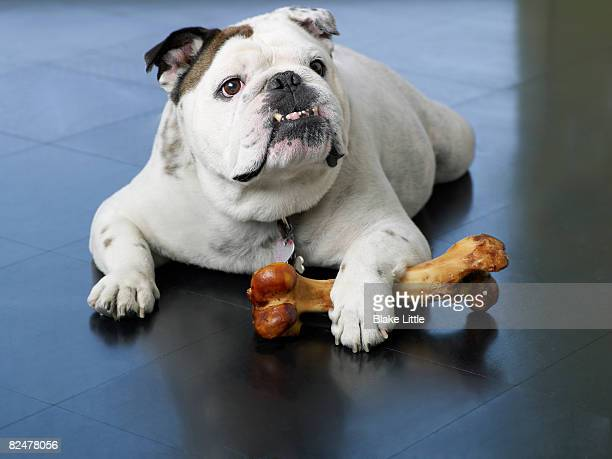 Bulldog with bone