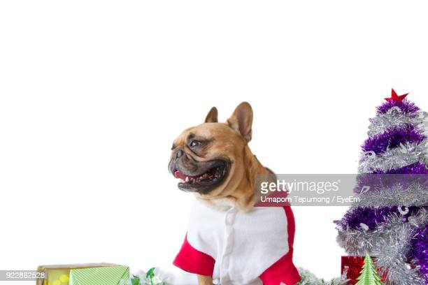Bulldog With Christmas Tree And Gifts Against White Background