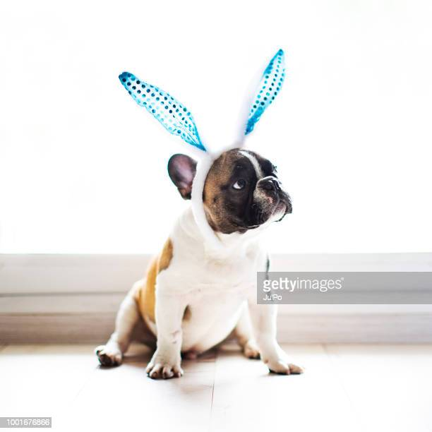 bulldog with rabbit ears - happy easter in russian stock pictures, royalty-free photos & images