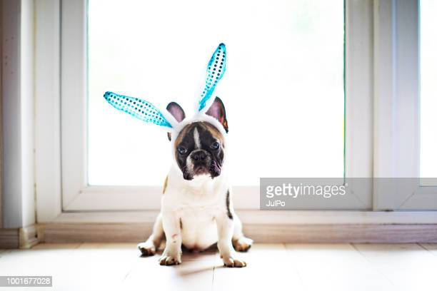 bulldog with rabbit ears - dog easter stock pictures, royalty-free photos & images