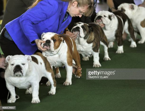 Bulldogs in the judging ring at Pier 92 and 94 in New York City for the first day of competition at the 138th Annual Westminster Kennel Club Dog Show...