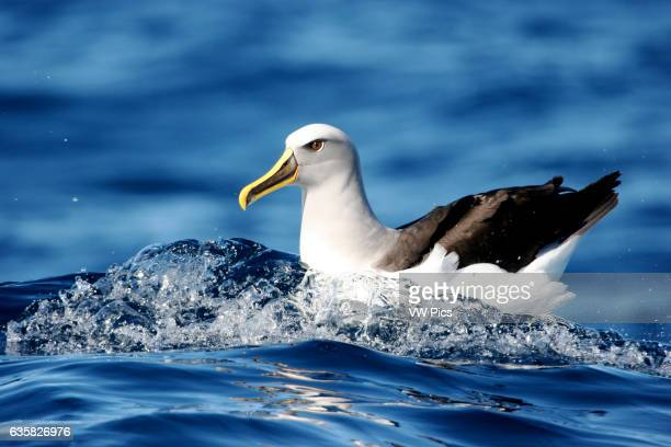 A Buller's Albatross rests on the water off the coast of Wollongong New South Wales Australia