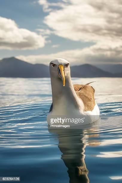 Buller's albatross (Thalassarche bulleri) sitting on the ocean on a sunny day in New Zealand
