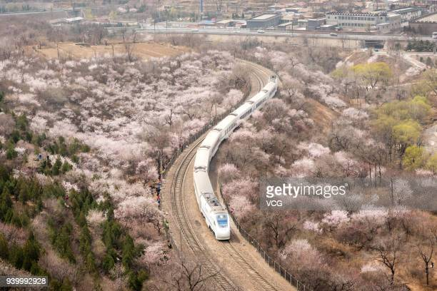 CRH bullet train runs through a sea of blossoms at the Juyongguan Pass of the Great Wall on March 29 2018 in Beijing China