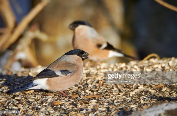 bullfinch eating sunflower seeds - teemu tretjakov stock pictures, royalty-free photos & images
