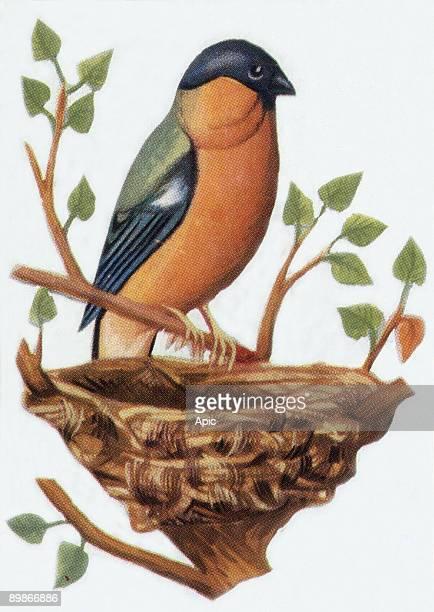 Bullfinch illustration 1963