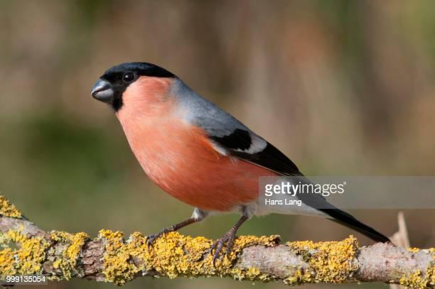 bullfinch (pyrrhula pyrrhula), male, untergroeningen, baden-wuerttemberg, germany - vista lateral stock pictures, royalty-free photos & images