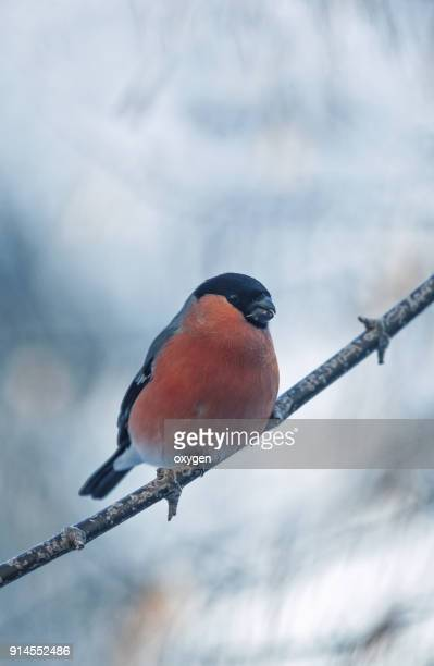 Bullfinch on the branches with blue sky background