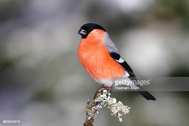Bullfinch -Pyrrhula-, male sitting on a lichen-covered branch