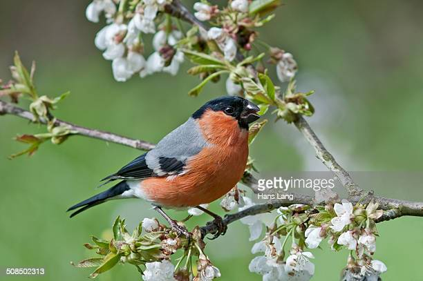 Bullfinch -Pyrrhula pyrrhula-, male on a blossoming cherry tree, Untergroeningen, Baden-Wuerttemberg, Germany, Europe