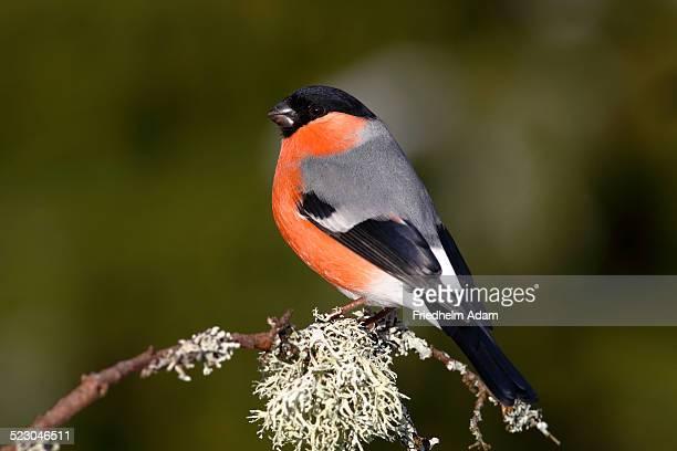 Bullfinch -Pyrrhula pyrrhula-, male sitting on a lichen-covered branch