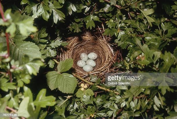 Bullfinch, Pyrrhula pyrrhula, nest with eggs, Oxfordshire, UK