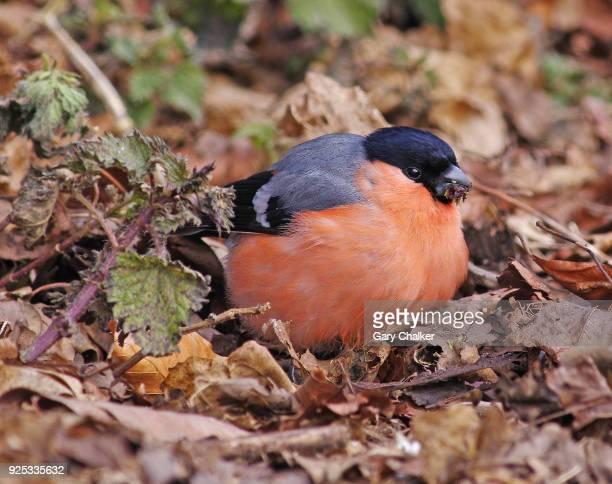 Bullfinch [Pyrrhula pyrrhula]