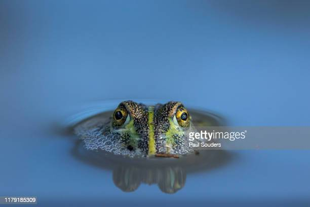 Bullfrog in Desert Pool, Nxai Pan National Park, Botswana