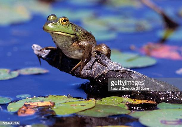 bullfrog in lily pond - bullfrog stock pictures, royalty-free photos & images