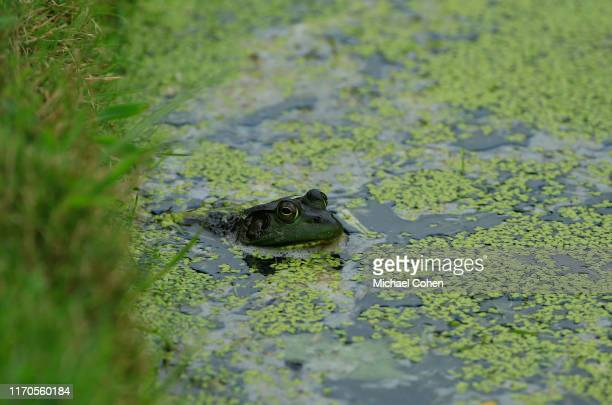 A bullfrog is seen during the second round of the DICK'S Sporting Goods Open at EnJoie Golf Course on August 17 2019 in Endicott New York