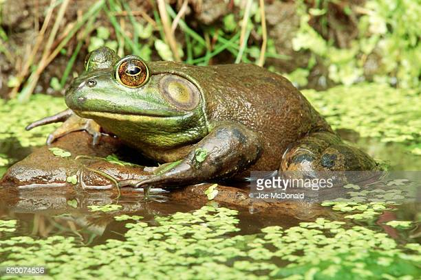 bullfrog on rock - bullfrog stock pictures, royalty-free photos & images