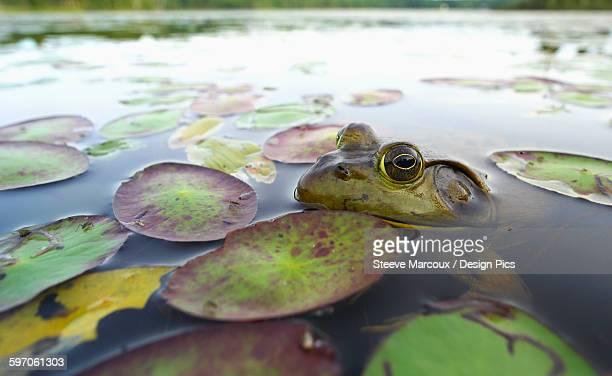 bullfrog (lithobates catesbeianus) - bullfrog stock pictures, royalty-free photos & images