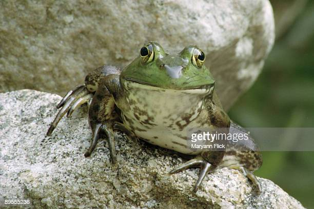 bullfrog - bullfrog stock pictures, royalty-free photos & images