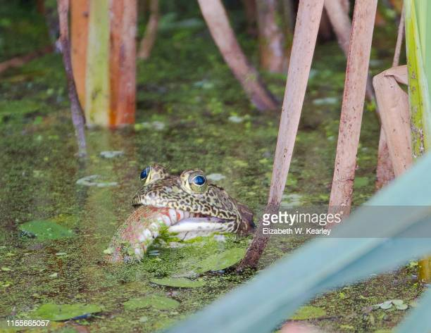 bullfrog with snake in its mouth - bullfrog stock pictures, royalty-free photos & images
