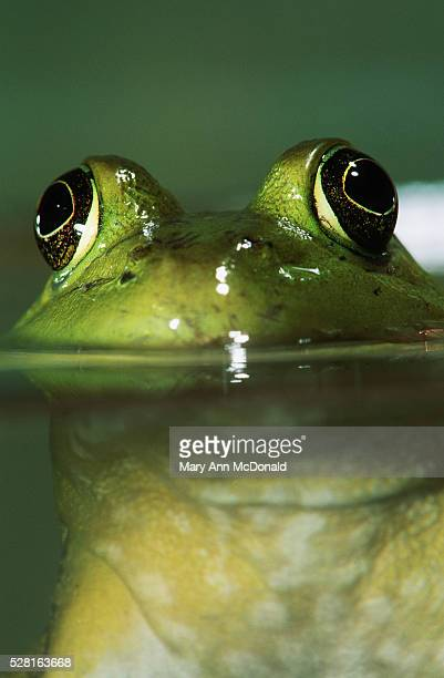 bullfrog's eyes above water - bullfrog stock pictures, royalty-free photos & images