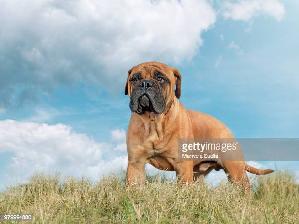 "bullmastiff ""bocha - bull mastiff stock pictures, royalty-free photos & images"