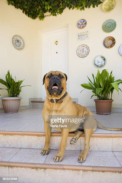 bullmastiff in spain. - bull mastiff stock pictures, royalty-free photos & images