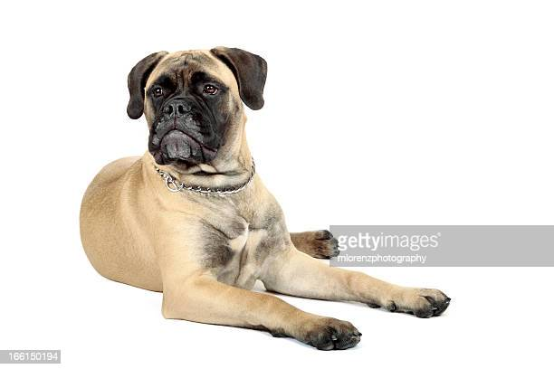 bullmastiff - bull mastiff stock pictures, royalty-free photos & images