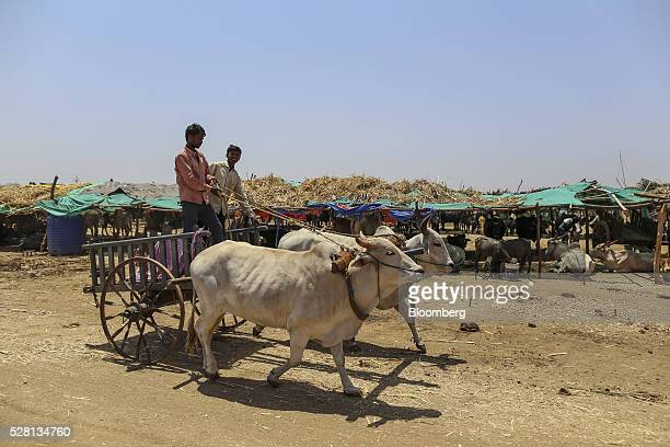 A bullock cart travels through a cattle shelter in Beed district Maharashtra India on Friday April 15 2016 Hundreds of millions of people in India...