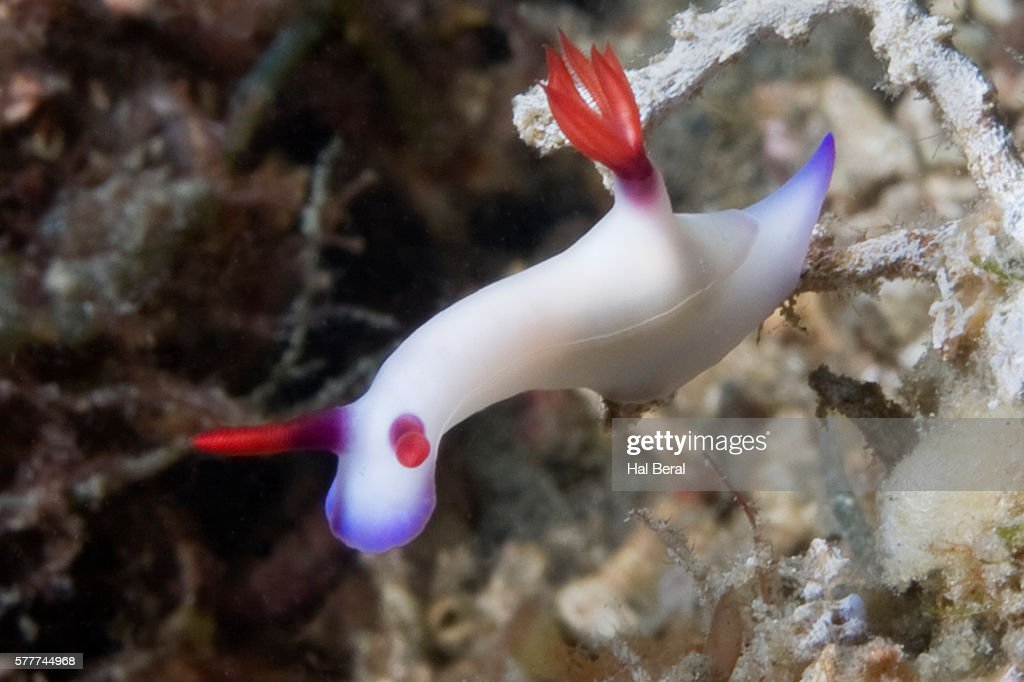 Bullock's Hypselodoris : Stock Photo