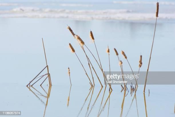 Bullrush Reflections in Winter