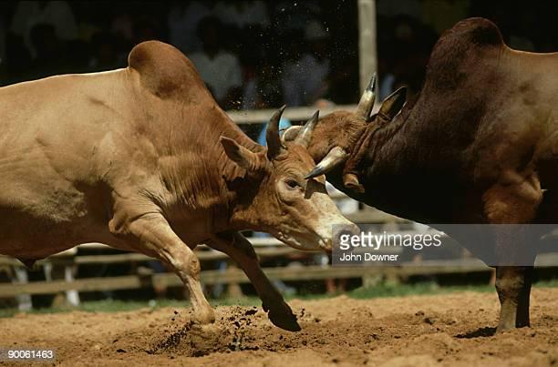 Bulls, Bos taurus, fighting, Hat Yai, S. Thailand