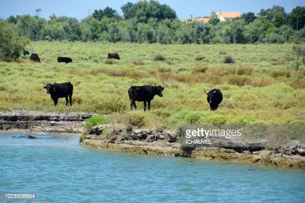 bulls camargue france - サントマリードラメール ストックフォトと画像