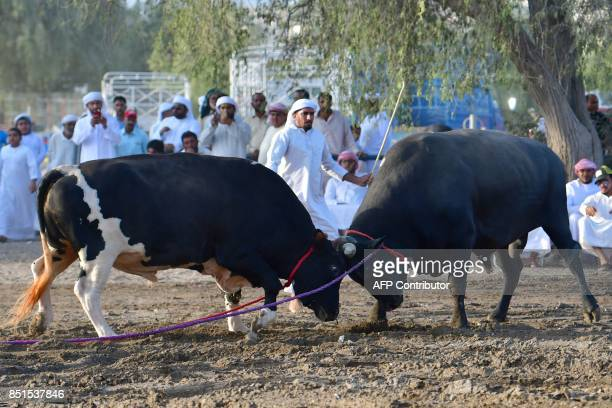 Bulls clash during a bull fight in Fujairah on September 22 2017 While believed to have been passed down from 16thcentury Portuguese conquerors...