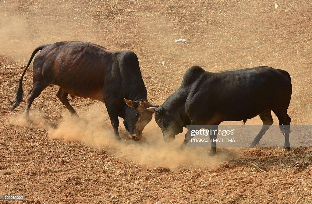 Image result for bull in kathmandu