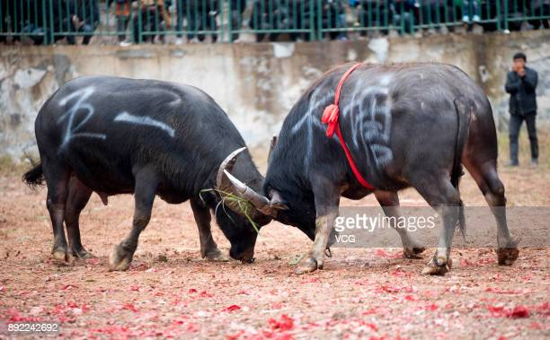 Bulls fight in a competition on December 14 2017 in QianDongnan Miao and Dong Autonomous Prefecture Guizhou Province of China Miao and Dong people...
