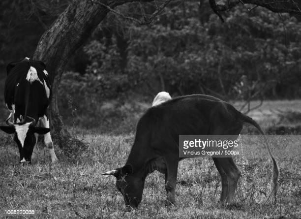 bulls grazing on field - gregnol fotografías e imágenes de stock